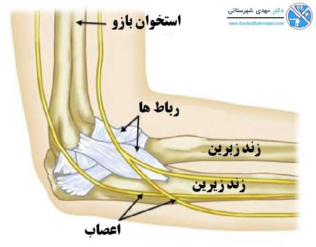 ساختارهای اصلی آرنج هنگام مشاهده از پهلو